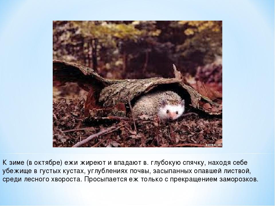 К зиме (в октябре) ежи жиреют и впадают в. глубокую спячку, находя себе убежи...