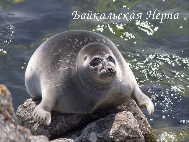 Байкальская Нерпа