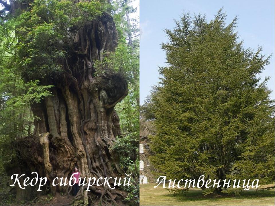 Кедр сибирский Лиственница