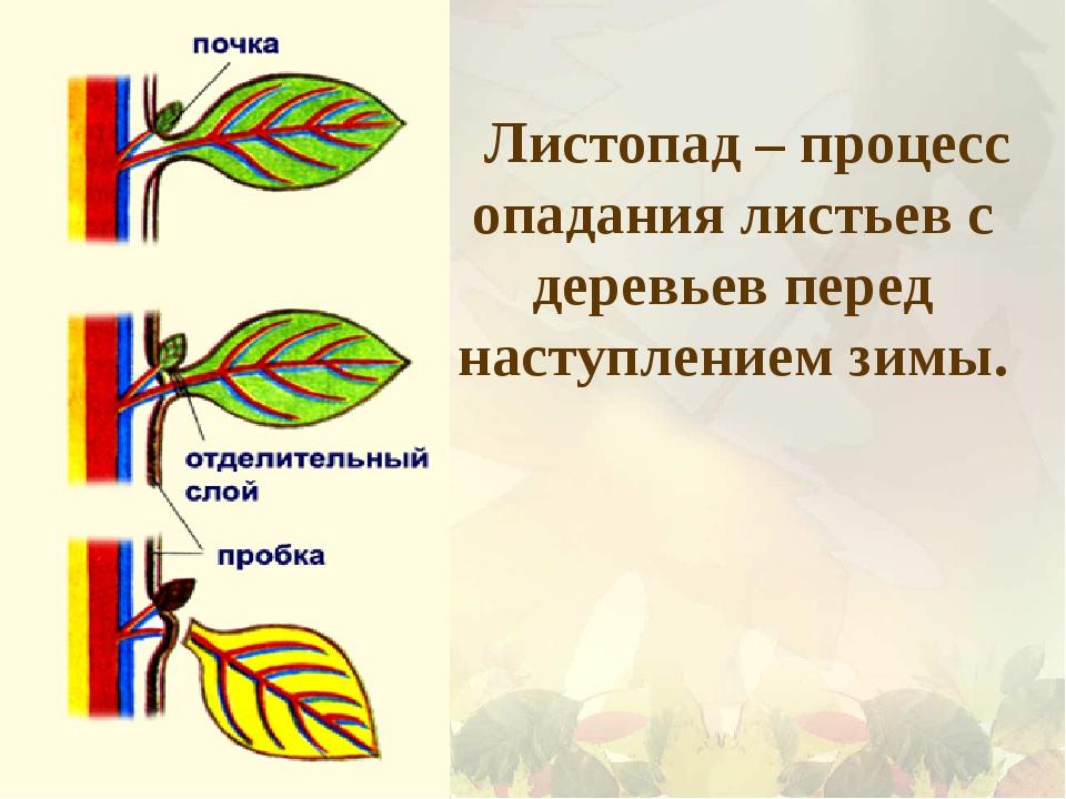 Листопад – процесс опадания листьев с деревьев перед наступлением зимы.