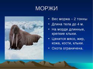 МОРЖИ Вес моржа – 2 тонны Длина тела до 4 м. На морде длинные, крепкие клыки.