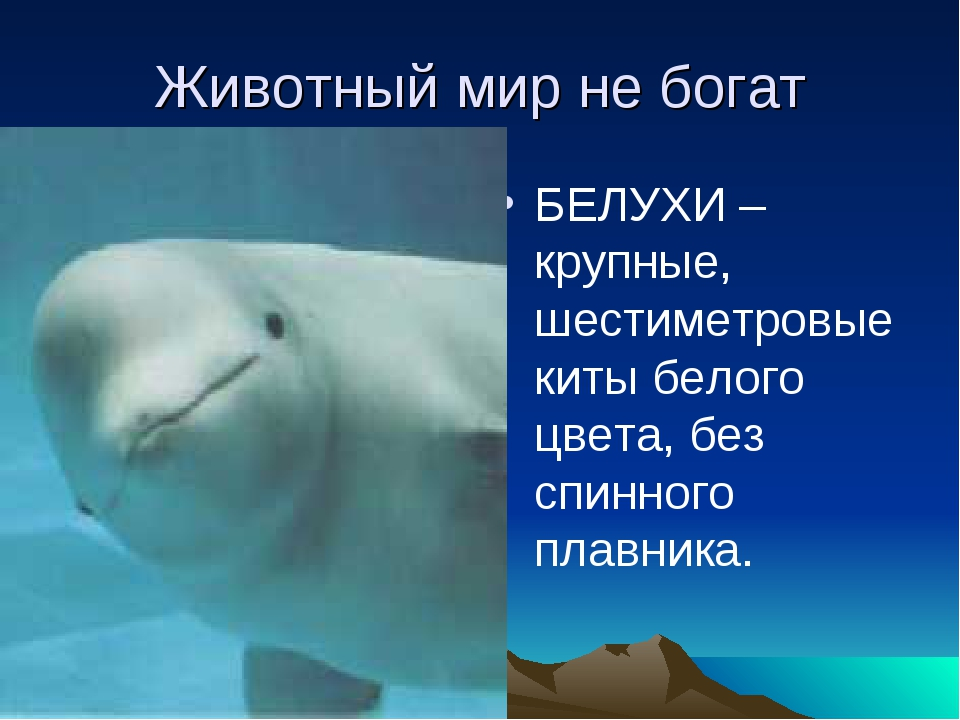 Животный мир не богат БЕЛУХИ –крупные, шестиметровые киты белого цвета, без с...