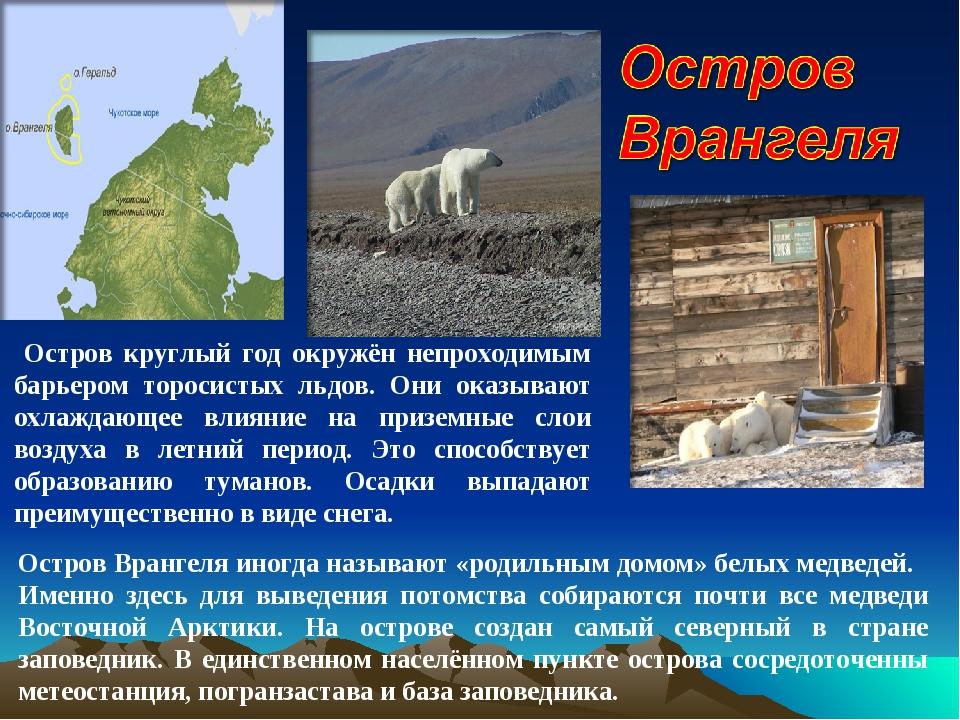 Остров Врангеля иногда называют «родильным домом» белых медведей. Именно здес...