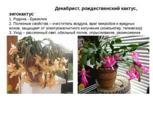Декабрист, рождественский кактус, зигокактус 1. Родина - Бразилия 2. Полезны