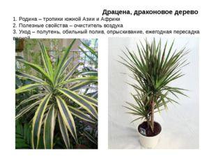 Драцена, драконовое дерево 1. Родина – тропики южной Азии и Африки 2. Полезн