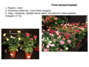 Роза миниатюрная 1. Родина - Азия 2. Полезные свойства – очиститель воздуха