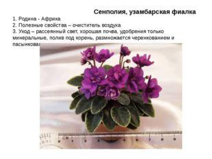 Сенполия, узамбарская фиалка 1. Родина - Африка 2. Полезные свойства – очист
