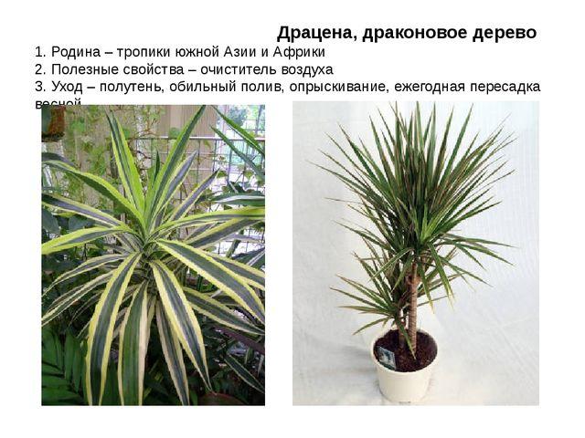 Драцена, драконовое дерево 1. Родина – тропики южной Азии и Африки 2. Полезн...
