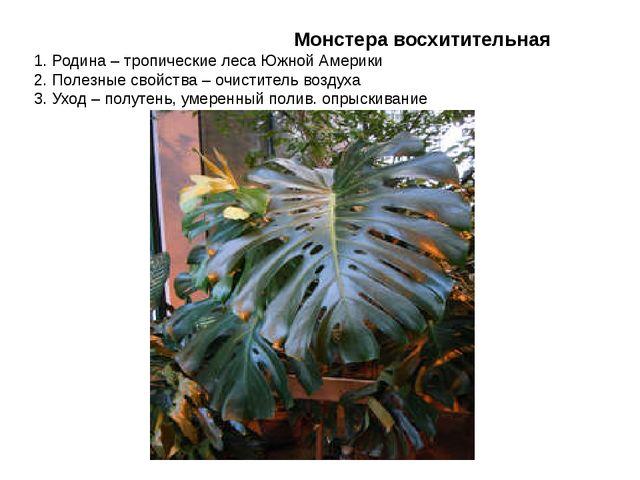 Монстера восхитительная 1. Родина – тропические леса Южной Америки 2. Полезн...