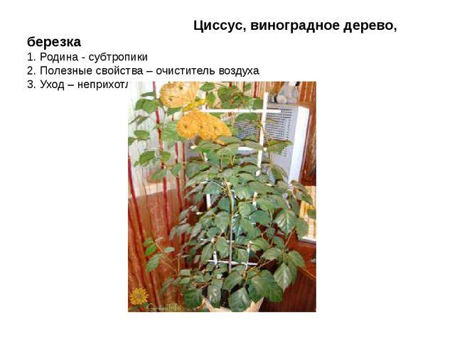 Циссус, виноградное дерево, березка 1. Родина - субтропики 2. Полезные свойс...