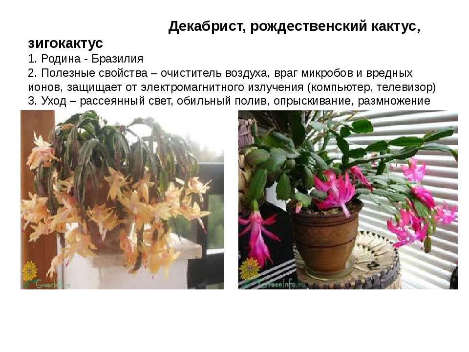 Декабрист, рождественский кактус, зигокактус 1. Родина - Бразилия 2. Полезны...