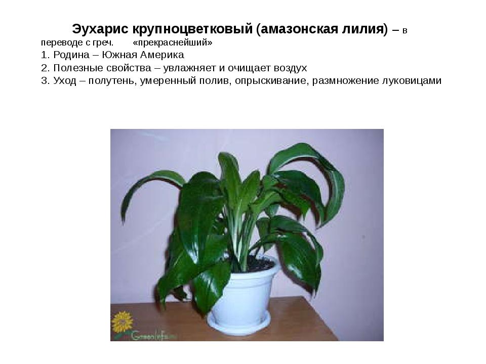 Эухарис крупноцветковый (амазонская лилия) – в переводе с греч. «прекраснейш...