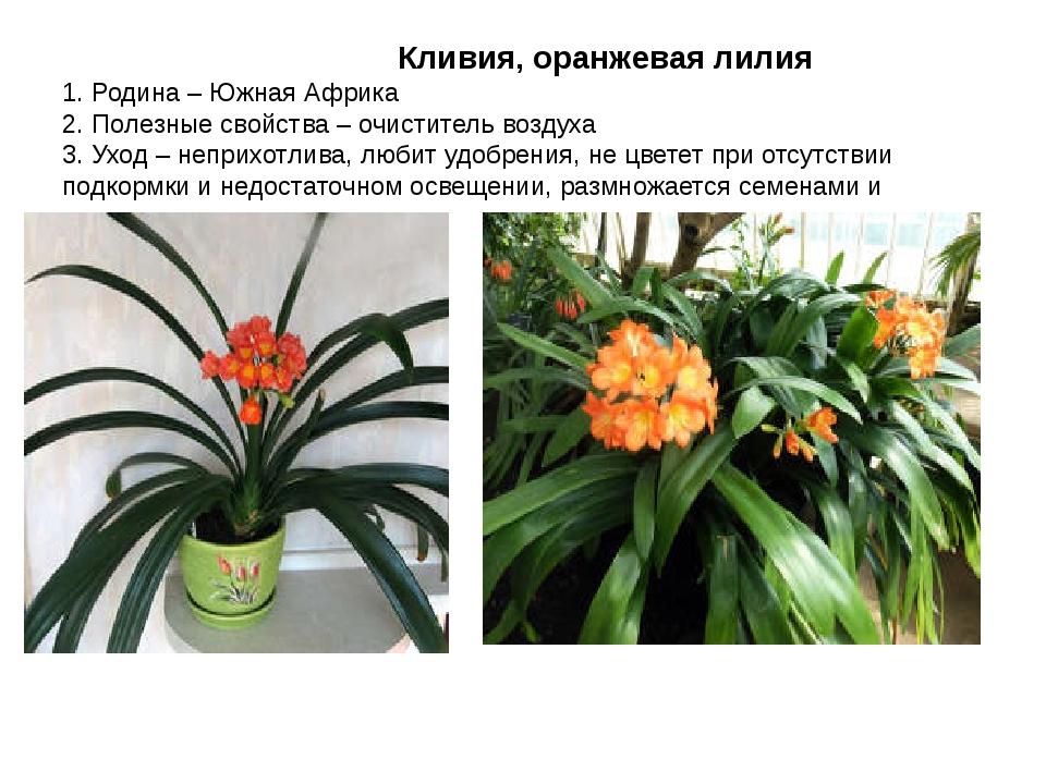 Кливия, оранжевая лилия 1. Родина – Южная Африка 2. Полезные свойства – очис...