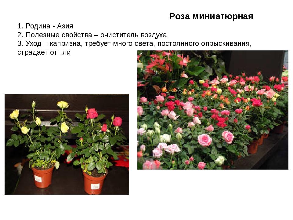 Роза миниатюрная 1. Родина - Азия 2. Полезные свойства – очиститель воздуха...