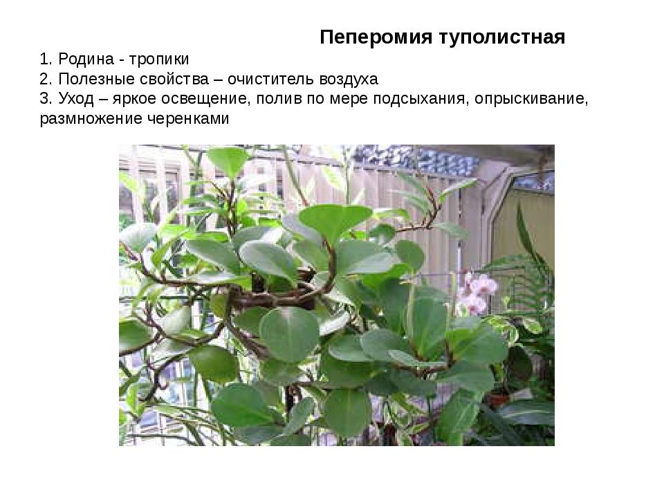 Пеперомия туполистная 1. Родина - тропики 2. Полезные свойства – очиститель...
