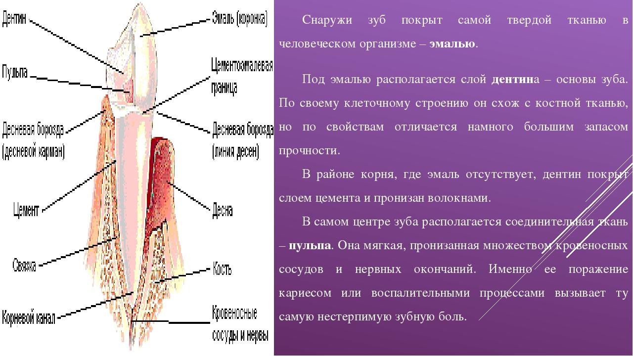 Снаружи зуб покрыт самой твердой тканью в человеческом организме –эмалью. По...