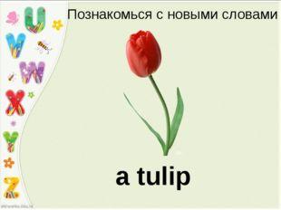 Познакомься с новыми словами a tulip