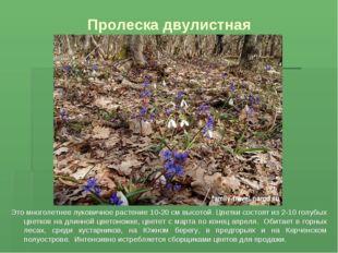 Пролеска двулистная Это многолетнее луковичное растение 10-20 см высотой. Цве