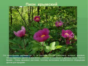 Пион крымский ттт Это многолетнее растение до 75 см высотой. Цветки одиночные