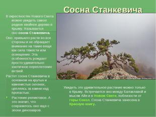 Сосна Станкевича Вокрестностях НовогоСвета можно увидеть самое редкое хвойн