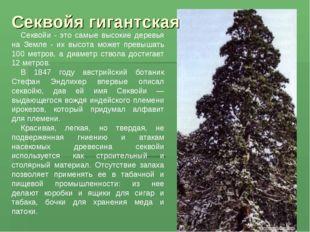 Секвойя гигантская Секвойи - это самые высокие деревья на Земле - их высота м