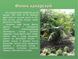 Финик канарский Эта пальма может вырастать до 15 метров. При этом на ее верши