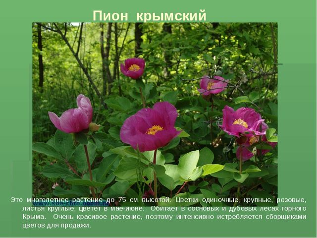 Пион крымский ттт Это многолетнее растение до 75 см высотой. Цветки одиночные...