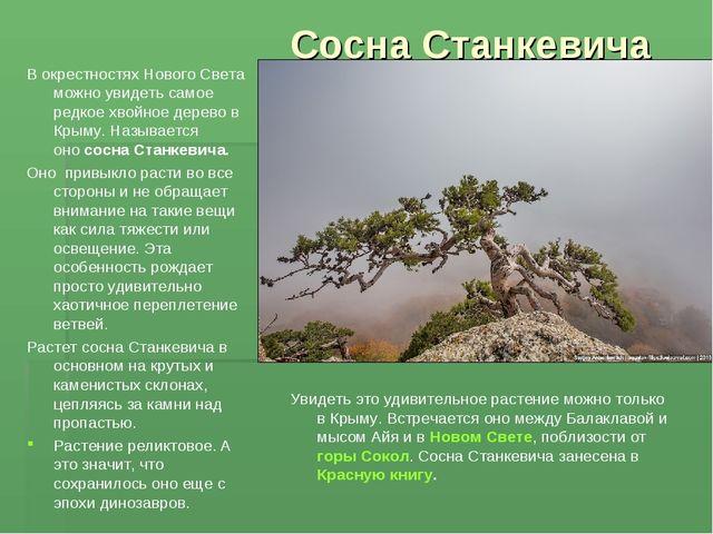Сосна Станкевича Вокрестностях НовогоСвета можно увидеть самое редкое хвойн...
