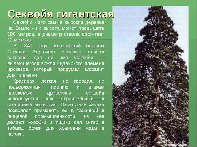 Секвойя гигантская Секвойи - это самые высокие деревья на Земле - их высота м...