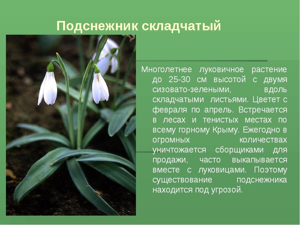 Подснежник складчатый Многолетнее луковичное растение до 25-30 см высотой с д...