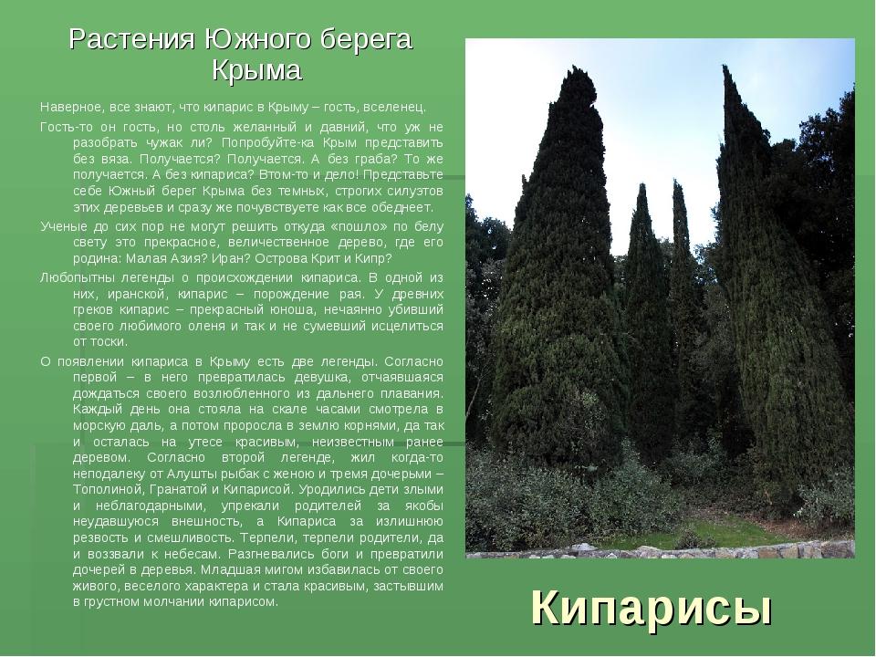 Кипарисы Растения Южного берега Крыма Наверное, все знают, что кипарис в Крым...
