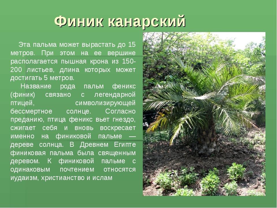 Финик канарский Эта пальма может вырастать до 15 метров. При этом на ее верши...