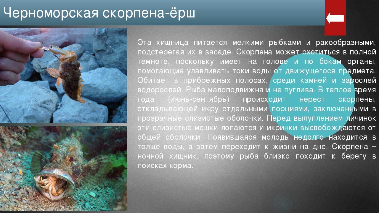 Шипы этой рыбы, у основания которых находятся железы с ядом, накрыты кожей та...