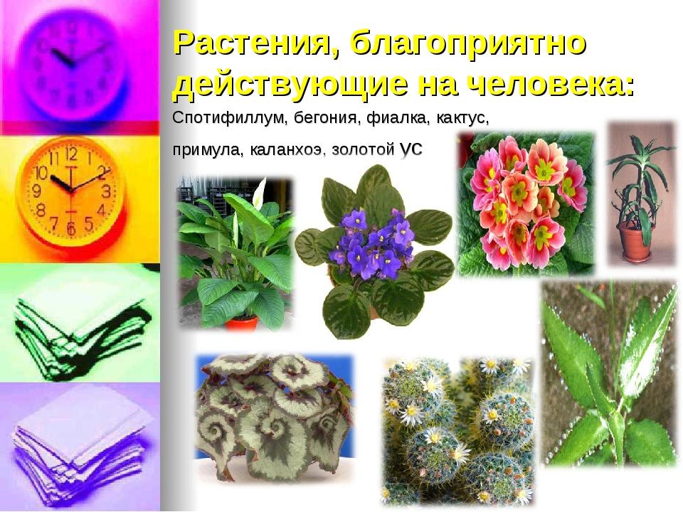 Спотифиллум, бегония, фиалка, кактус, примула, каланхоэ, золотой ус Растения,...