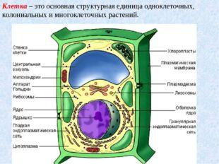 Клетка– это основная структурная единица одноклеточных, колониальных и много