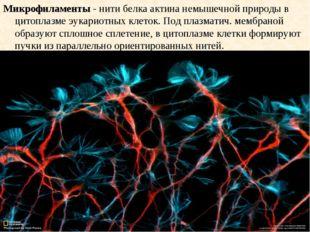 Микрофиламенты - нити белка актина немышечной природы в цитоплазме эукариотны