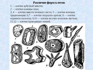 Различие форм клеток 1 — клетки арбузной мякоти; 2 — клетки кожицы лука; 3