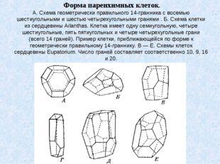 Форма паренхимных клеток. А. Схема геометрически правильного 14-гранника с в