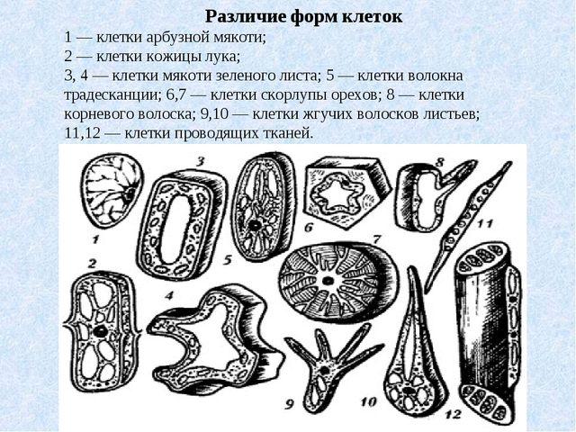 Различие форм клеток 1 — клетки арбузной мякоти; 2 — клетки кожицы лука; 3...