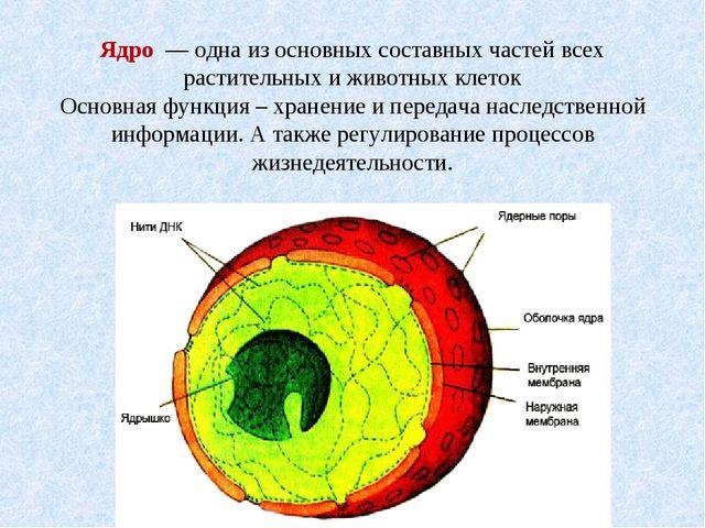 Ядро — одна из основных составных частей всех растительных и животных клеток...