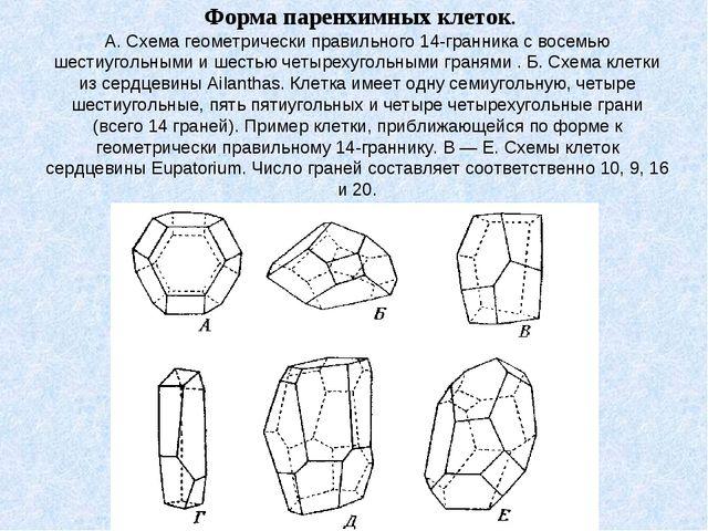 Форма паренхимных клеток. А. Схема геометрически правильного 14-гранника с в...