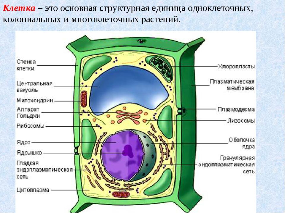 Клетка– это основная структурная единица одноклеточных, колониальных и много...