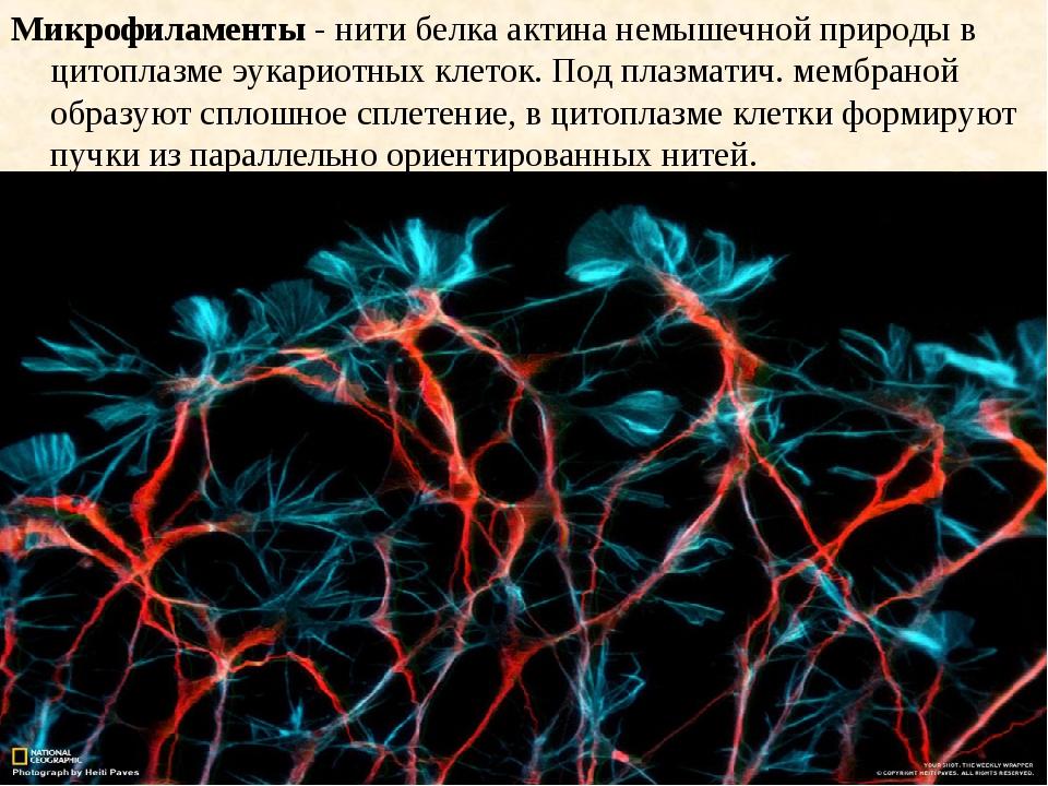 Микрофиламенты - нити белка актина немышечной природы в цитоплазме эукариотны...