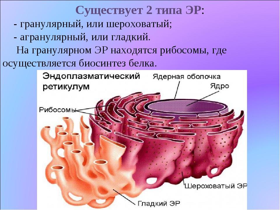 Существует 2 типа ЭР: - гранулярный, или шероховатый; - агранулярный, или гла...