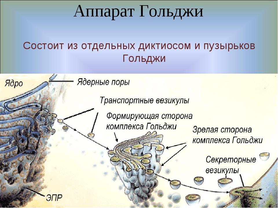 Аппарат Гольджи Состоит из отдельных диктиосом и пузырьков Гольджи