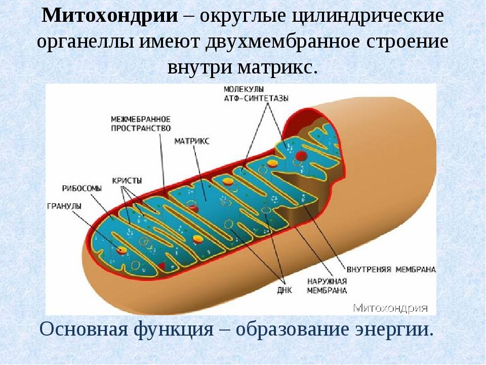 Митохондрии – округлые цилиндрические органеллы имеют двухмембранное строение...