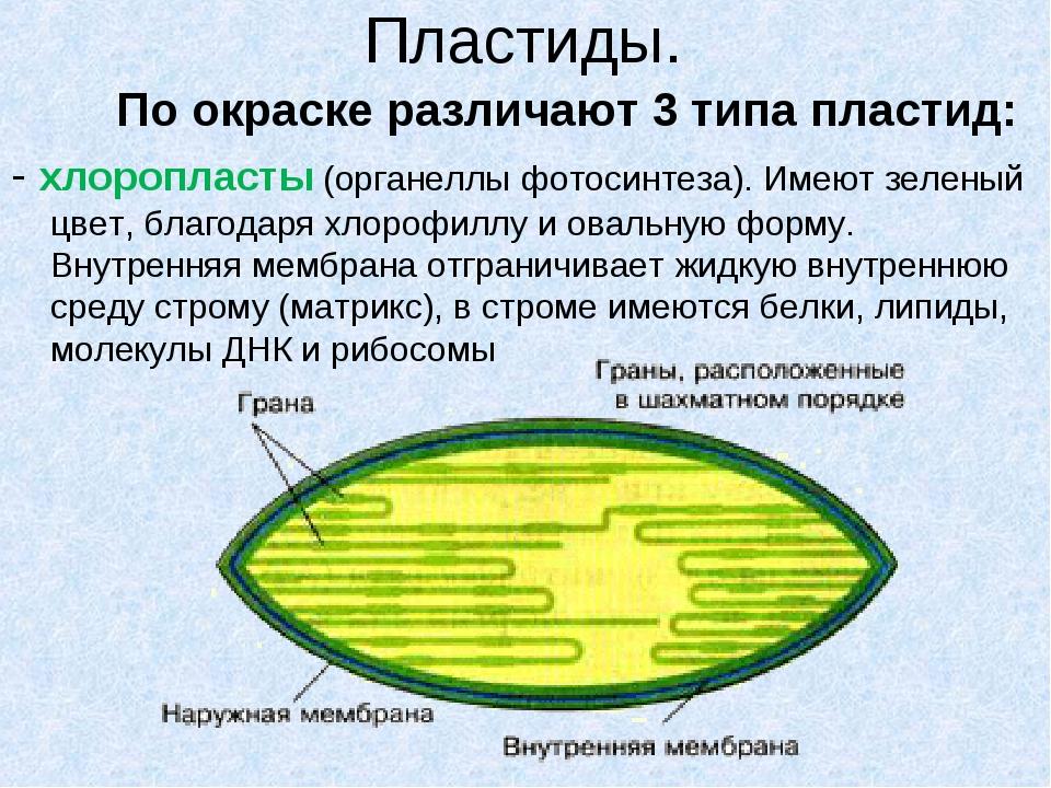 Пластиды. По окраске различают 3 типа пластид: - хлоропласты (органеллы фот...