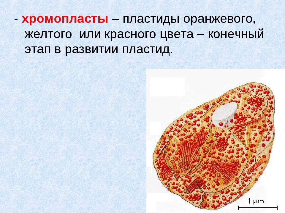 - хромопласты – пластиды оранжевого, желтого или красного цвета – конечный эт...