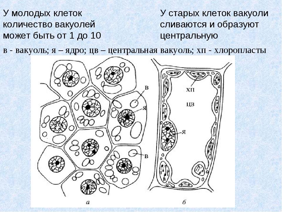 в - вакуоль; я – ядро; цв – центральная вакуоль; хп - хлоропласты У молодых...