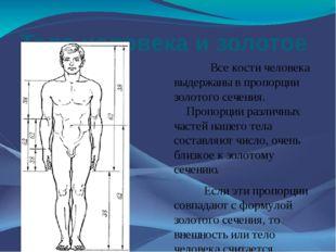 Тело человека и золотое сечение Все кости человека выдержаны в пропорции золо